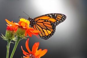 butterflies go free2