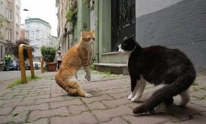 8-gamsiz-fight-in-kedi